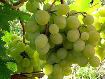 Yerevan Brandy Company to purchase no less than 24,000 tons of grapes from farmers this year