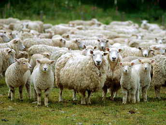Over 54,000 sheep exported from Armenia to Iran in 11 months