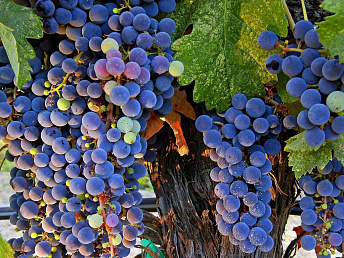 Armenians wineries start grapes procurement